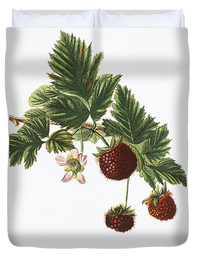 1885 Duvet Cover featuring the painting Akala Berries by Hawaiian Legacy Archive - Printscapes