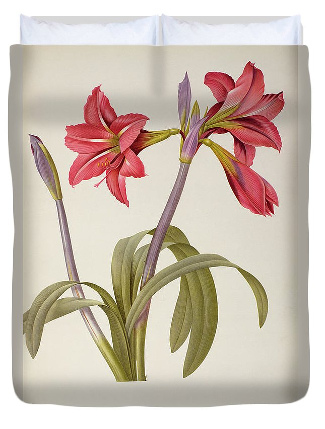 Amaryllis Duvet Cover featuring the drawing Amaryllis Brasiliensis by Pierre Redoute