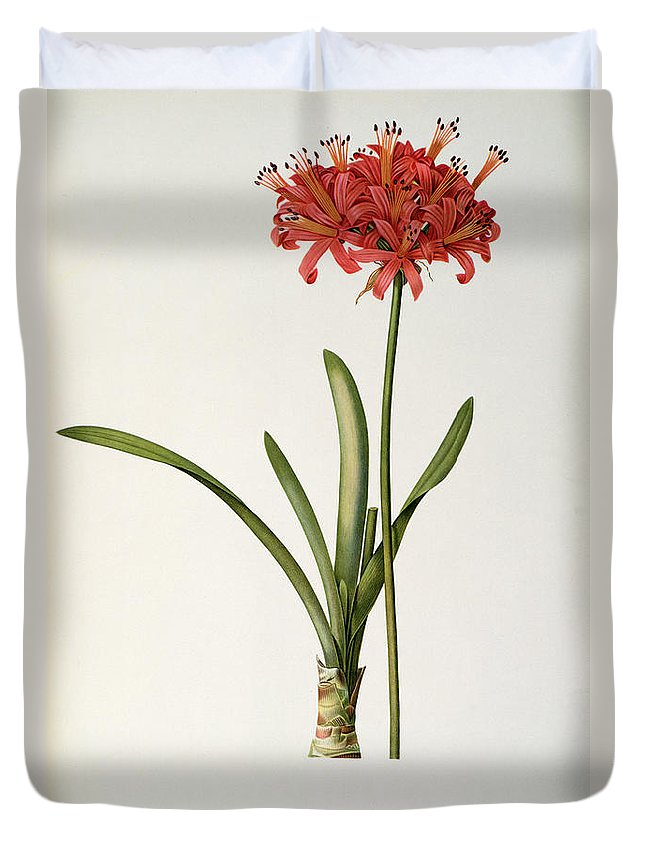 Amaryllis Duvet Cover featuring the drawing Amaryllis Curvifolia by Pierre Redoute