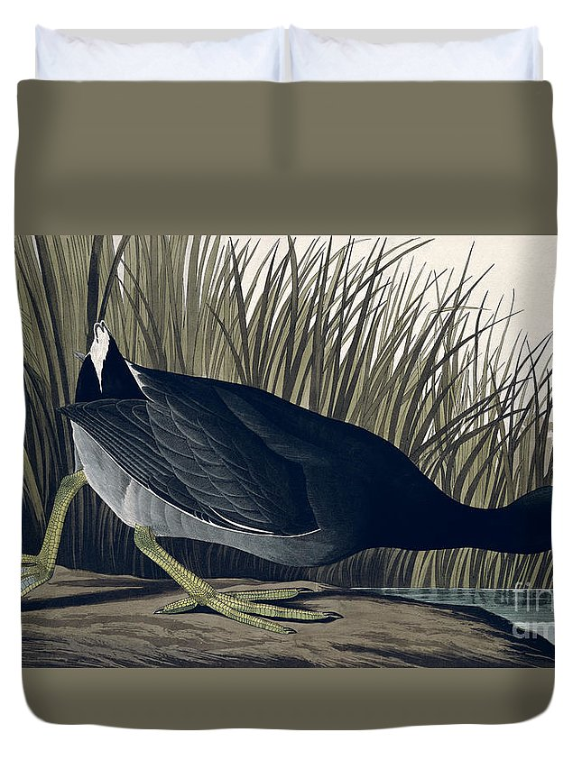 American Coot Duvet Cover featuring the painting American Coot by John James Audubon