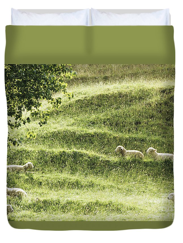 Animal Art Duvet Cover featuring the photograph Auckland Sheep Grazing by Larry Dale Gordon - Printscapes