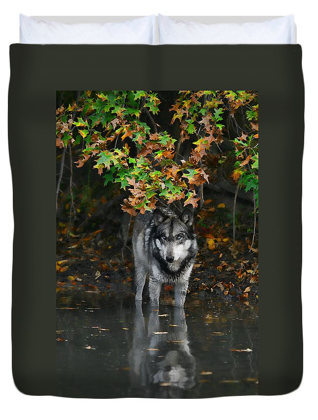 Wolf Wolves Lupine Canis Lupus Wildlife Animal Photography Photograph Duvet Cover featuring the photograph Autumn Wolf by Shari Jardina