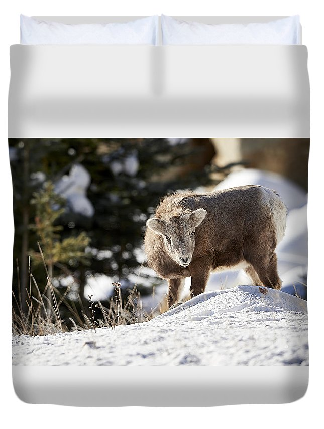 Bighorned Sheep Duvet Cover featuring the photograph Bighorned Yearling - King Of The Hill by Jestephotography Ltd