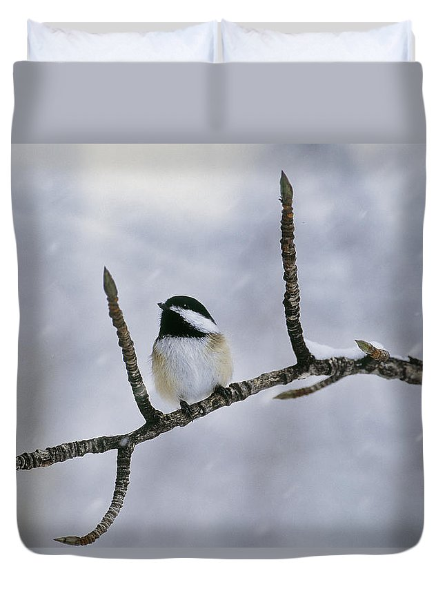 Light Duvet Cover featuring the photograph Black-capped Chickadee, Alberta by Darwin Wiggett