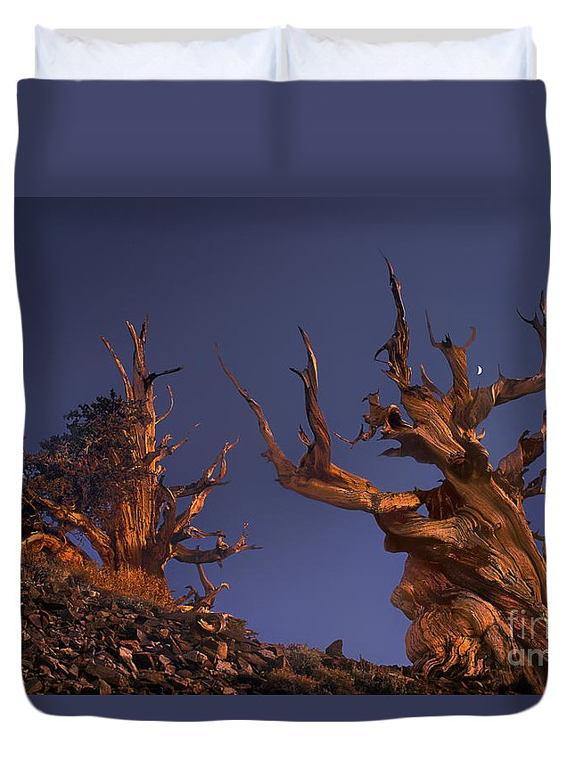 Bristlecone Pine Duvet Cover featuring the photograph Bristlecone Pines At Sunset With A Rising Moon by Dave Welling