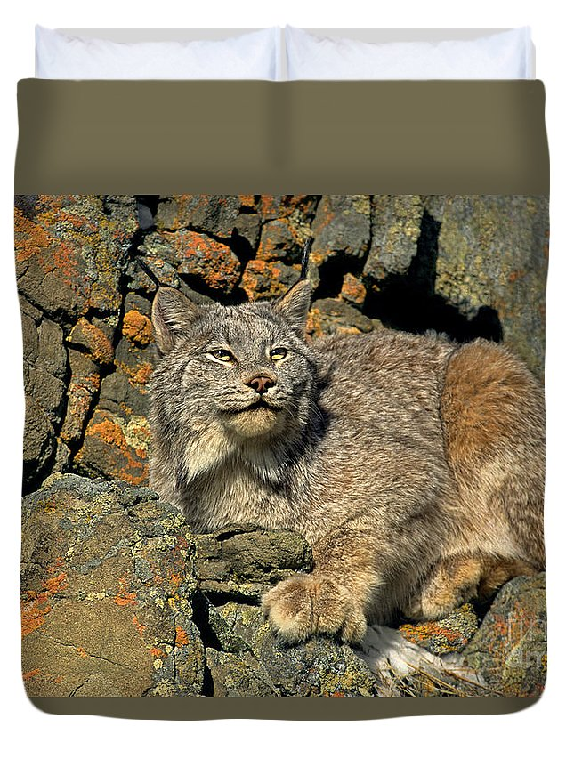 Canadian Lynx Duvet Cover featuring the photograph Canadian Lynx On Lichen-covered Cliff Endangered Species by Dave Welling