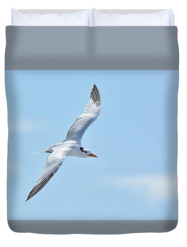 Bird Duvet Cover featuring the photograph Caspian Tern Soars by Alan Lenk