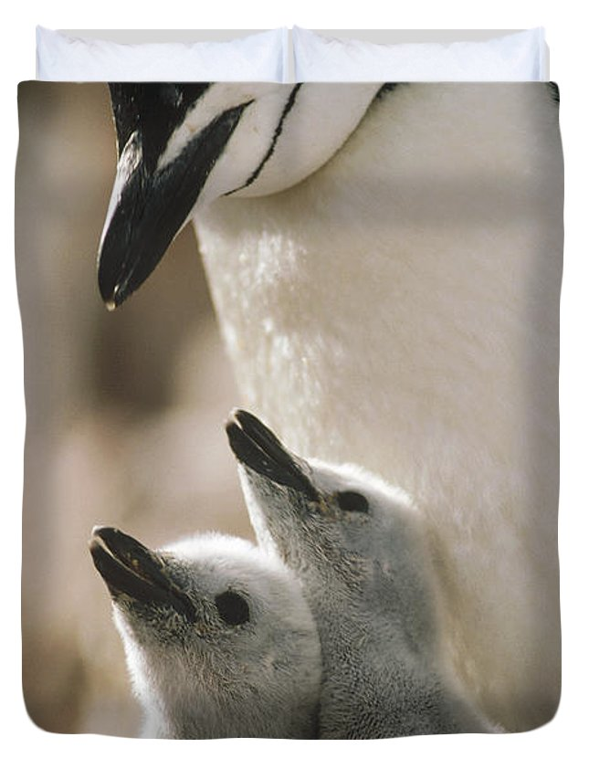 Mp Duvet Cover featuring the photograph Chinstrap Penguin Pygoscelis Antarctica by Tui De Roy