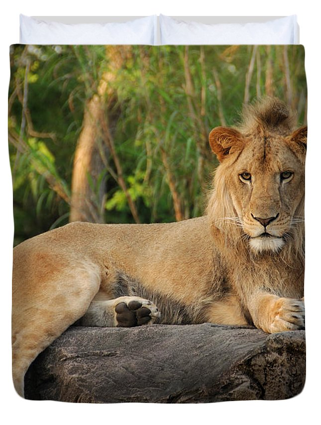 Lion Duvet Cover featuring the photograph Classic Young Male by Steven Sparks