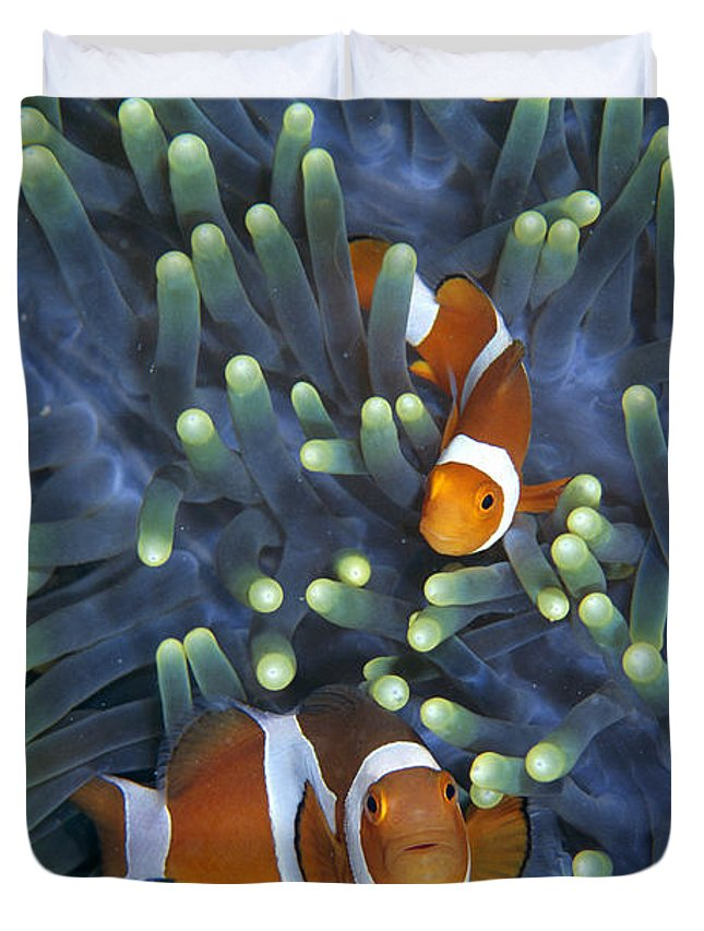 00429998 Duvet Cover featuring the photograph Clown Anemonefish Amphiprion Ocellaris by Hiroya Minakuchi