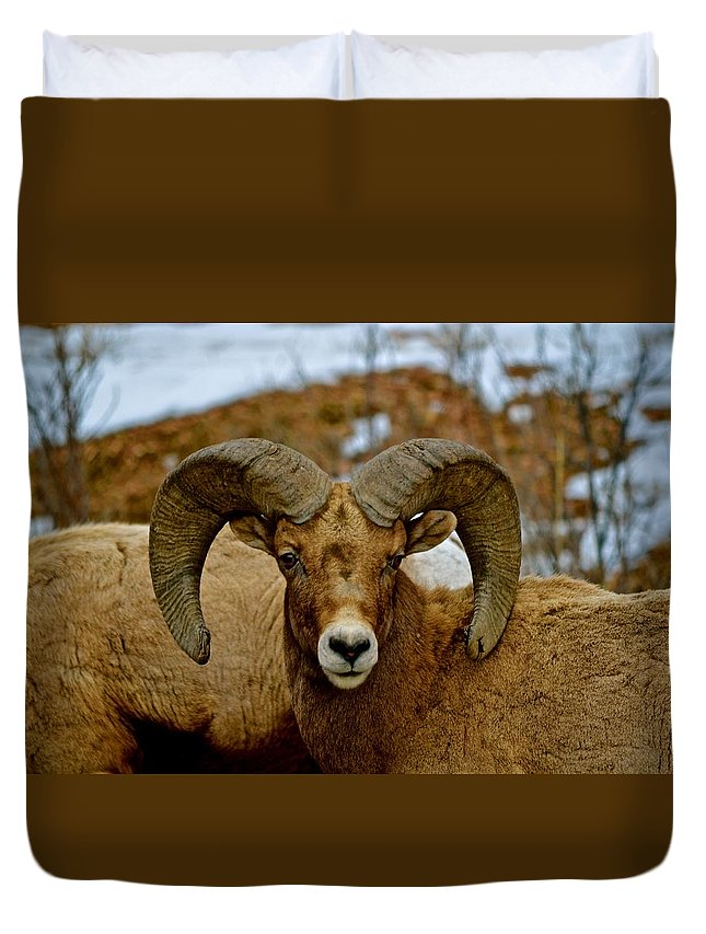 Big Horn Duvet Cover featuring the photograph Colorado Ram by Shayla McCullough
