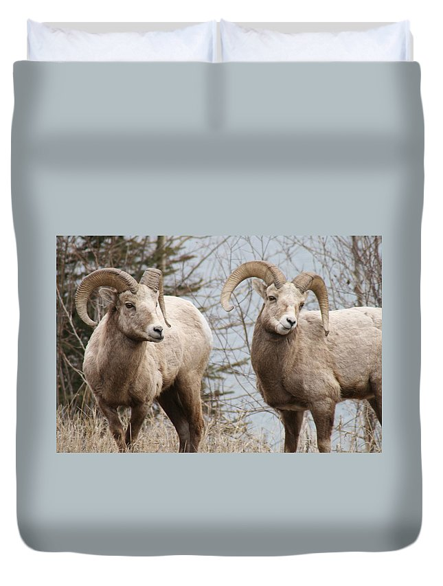 Bighorn Sheep Duvet Cover featuring the photograph Couple Of Rams- Banff National Park by Tiffany Vest