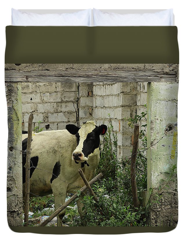 Holstein Duvet Cover featuring the photograph Cow In A Building by Robert Hamm