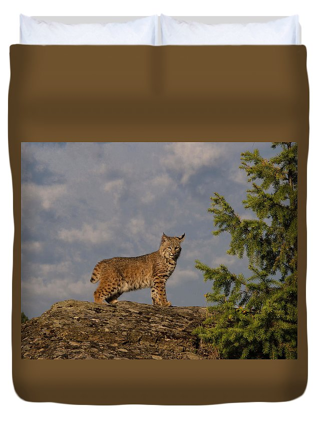 Bobcat Duvet Cover featuring the photograph Curious bobcat by Roy Nierdieck