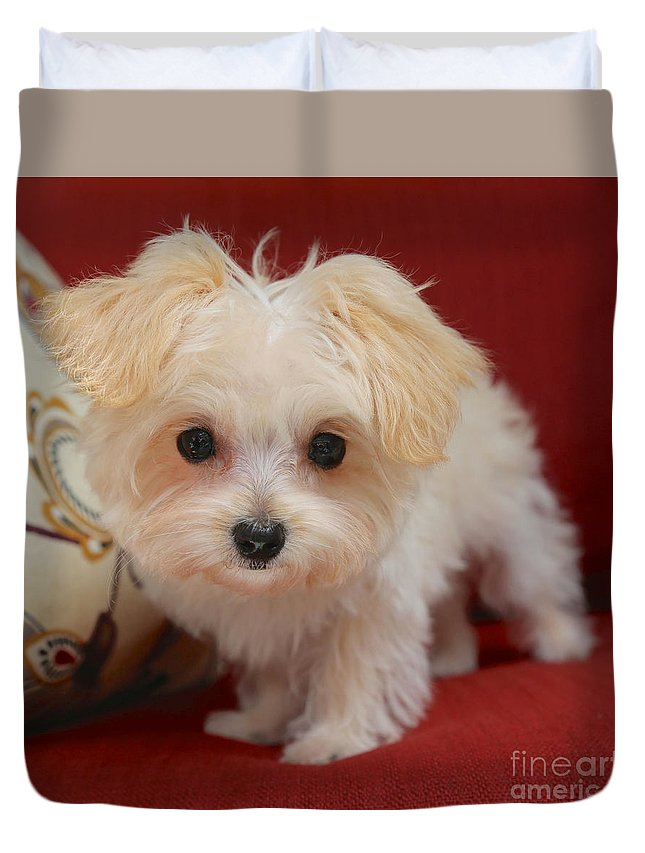 Dog Duvet Cover featuring the photograph Cute Maltipoo by Carol Groenen