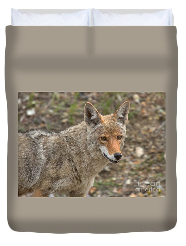Yellowstone Coyote Duvet Cover featuring the photograph Face Of The American Coyote by Adam Jewell