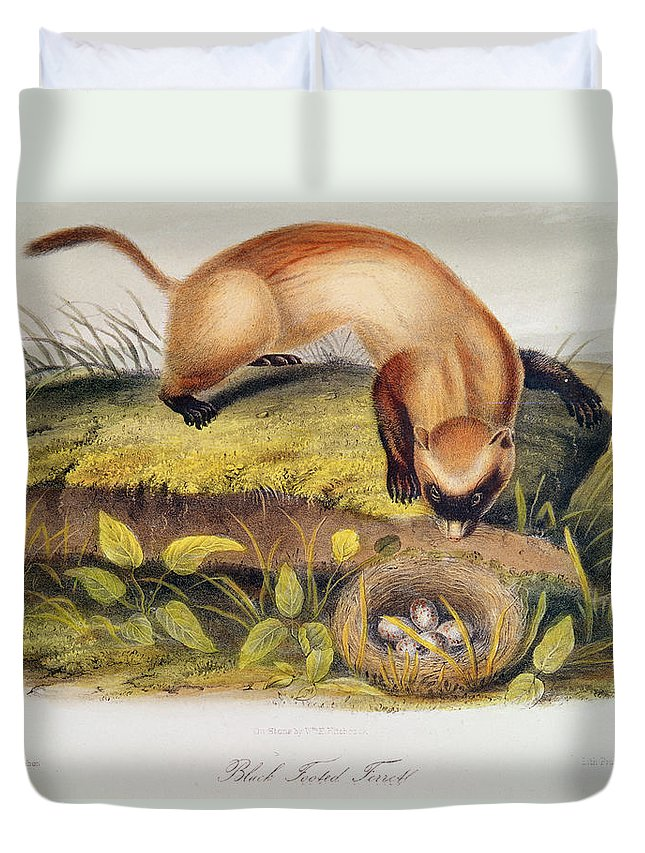 Black-footed Ferret From Quadrupeds Of North America (1842-5) By John James Audubon (1785-1851) Duvet Cover featuring the painting Ferret by John James Audubon