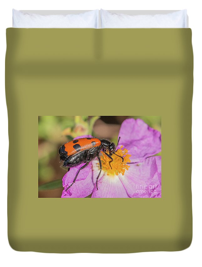 Animal Duvet Cover featuring the photograph Four-spotted Blister Beetle - Mylabris Quadripunctata by Jivko Nakev