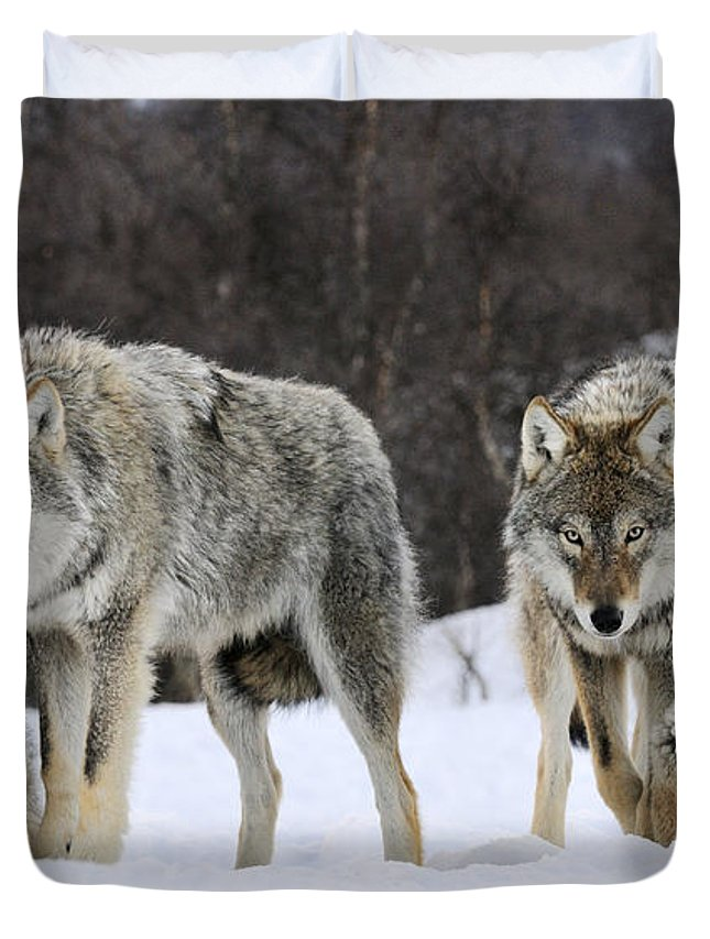 Mp Duvet Cover featuring the photograph Gray Wolves Norway by Jasper Doest
