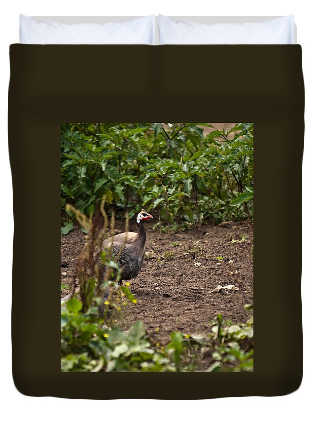 Galliformes Duvet Cover featuring the photograph Guineahen Looking For Food by Douglas Barnett