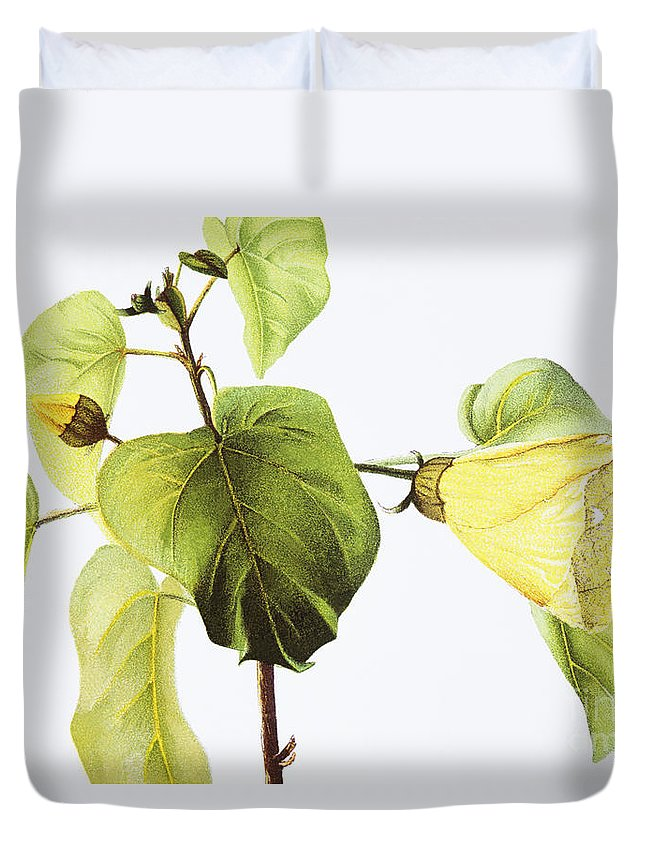 1885 Duvet Cover featuring the painting Hau Plant Art by Hawaiian Legacy Archive - Printscapes