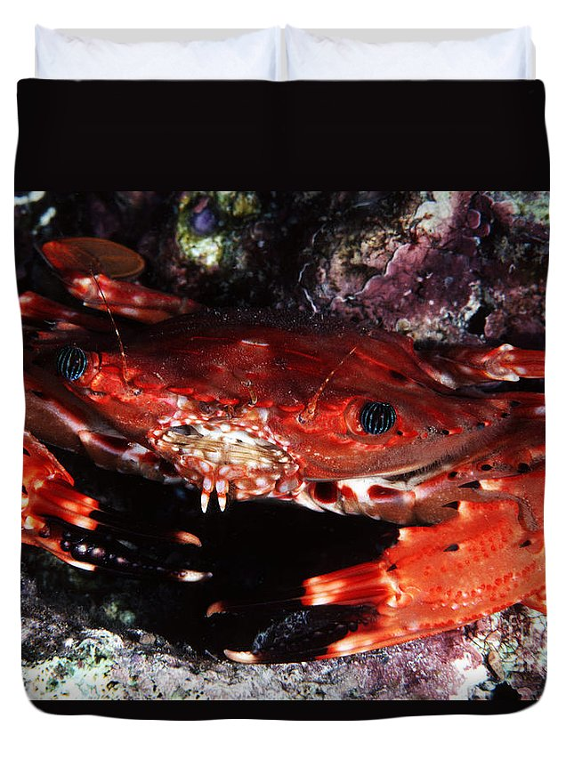 Animal Art Duvet Cover featuring the photograph Hawaii Swimming Crab by Ed Robinson - Printscapes