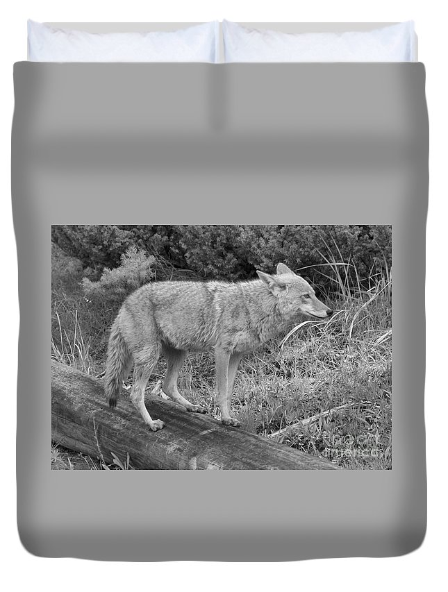 Yellowstone Coyote Duvet Cover featuring the photograph Hunting With Ears Back Black And White by Adam Jewell