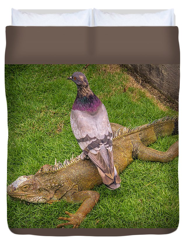 Ecuador Duvet Cover featuring the photograph Iguana With Pigeon On Its Back by Janice Bennett
