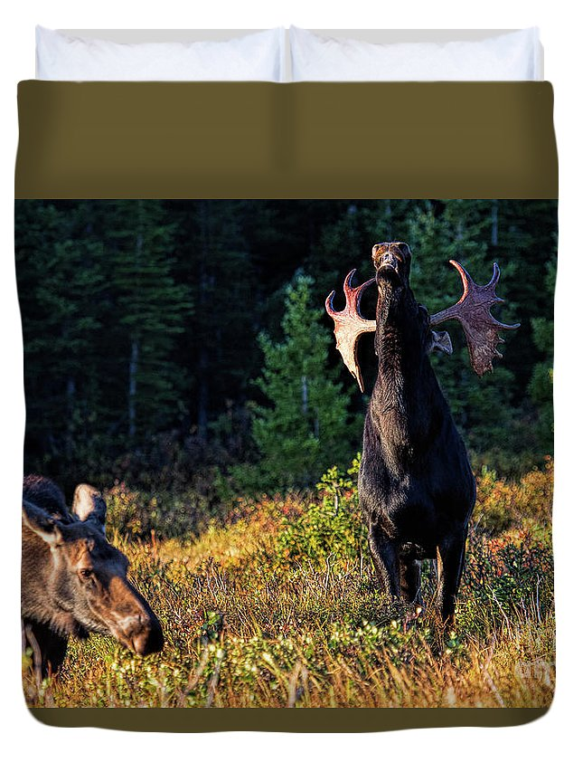 Moose Duvet Cover featuring the photograph It's So Good To Be King by Jim Garrison