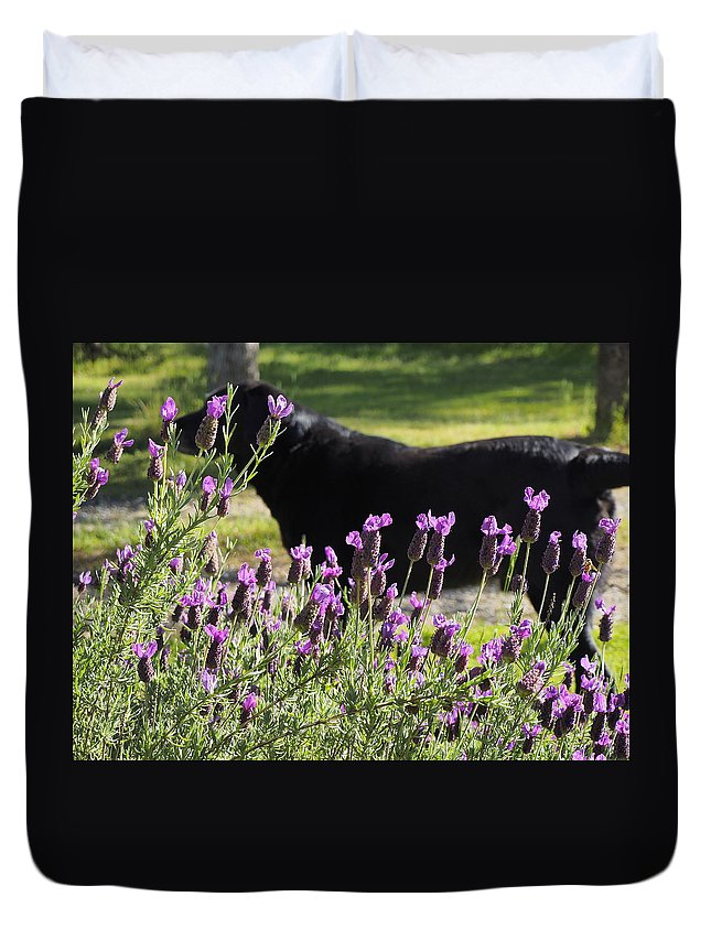Landscape Duvet Cover featuring the photograph Lavender And Black Lab by Richard Thomas