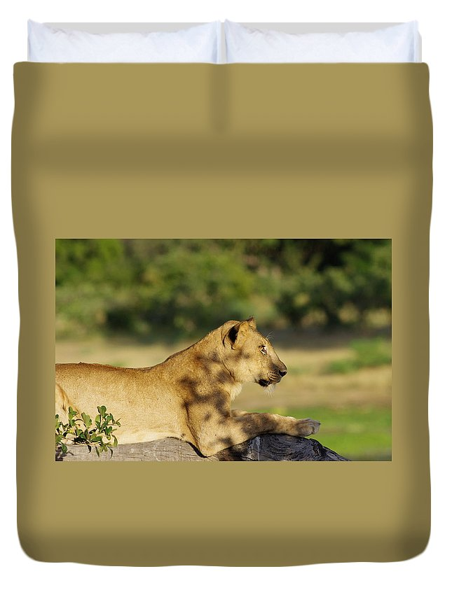 Lioness Tree Climbing Zambia Africa South Luangwa National Park Duvet Cover featuring the photograph Lioness Pose by Shivakumar Selvaraj