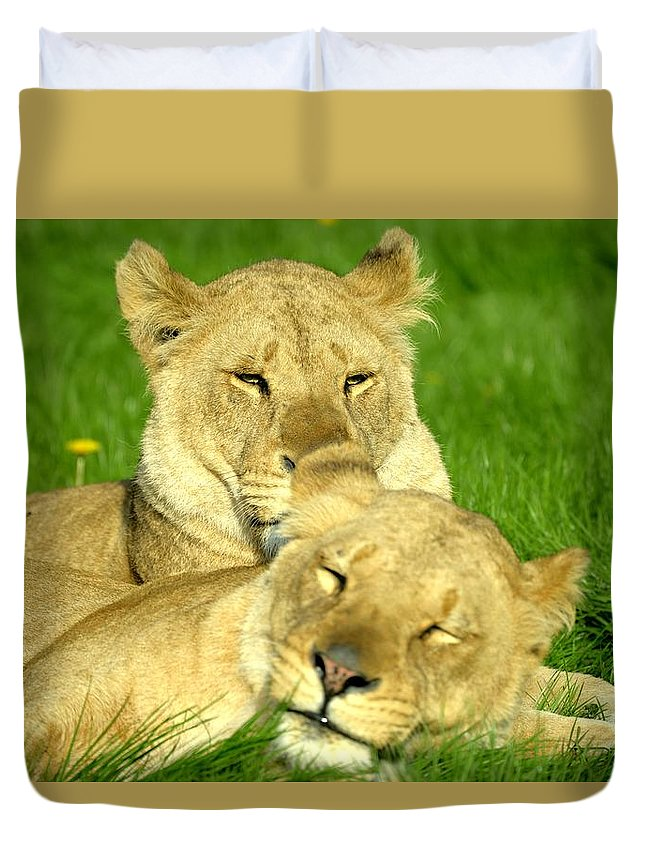 Lions. Big Cats. Animals. Wildlife . Safari Duvet Cover featuring the photograph Lions Xvii by Nicholas Rainsford