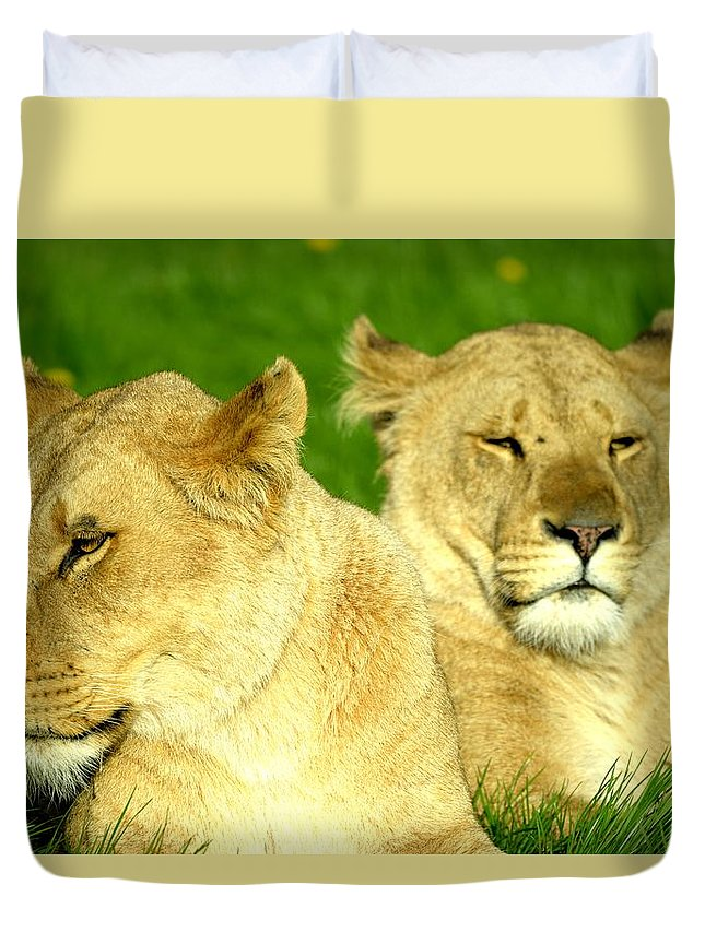 Lions. Big Cats. Animals. Wildlife . Safari Duvet Cover featuring the photograph Lions Xviii by Nicholas Rainsford