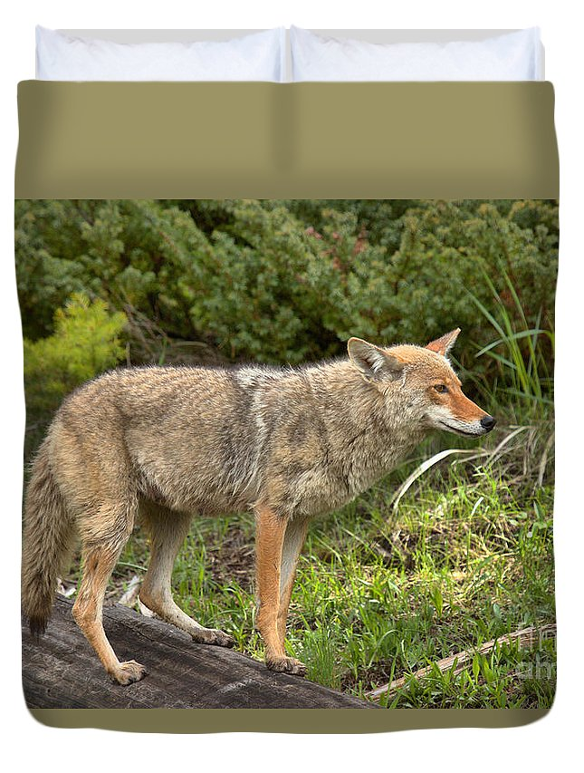 Yellowstone Coyote Duvet Cover featuring the photograph Listening Intently Closeup by Adam Jewell