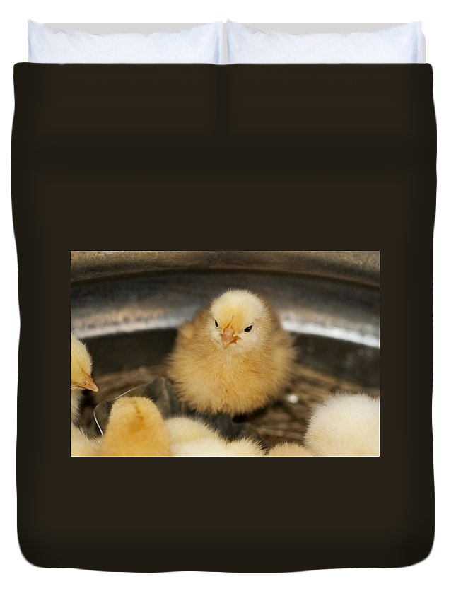 Chick Duvet Cover featuring the photograph Little Baby Peep by Kathy Clark