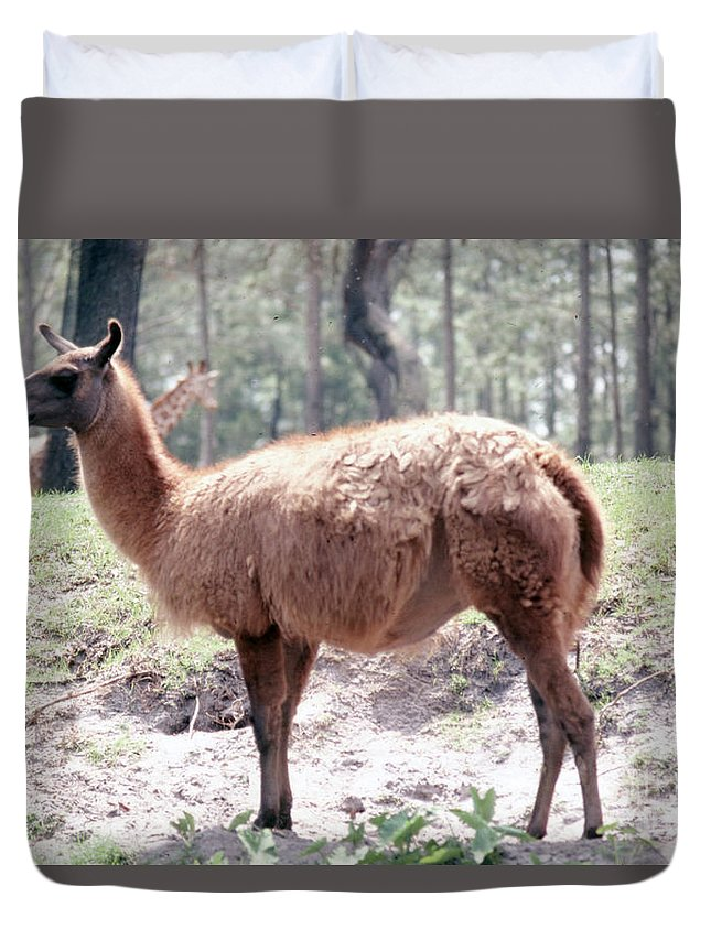 Llama Duvet Cover featuring the photograph Llamalovely by Delbert Larkin