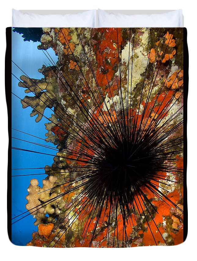 Animal Art Duvet Cover featuring the photograph Longspined Sea Urchin by Dave Fleetham - Printscapes