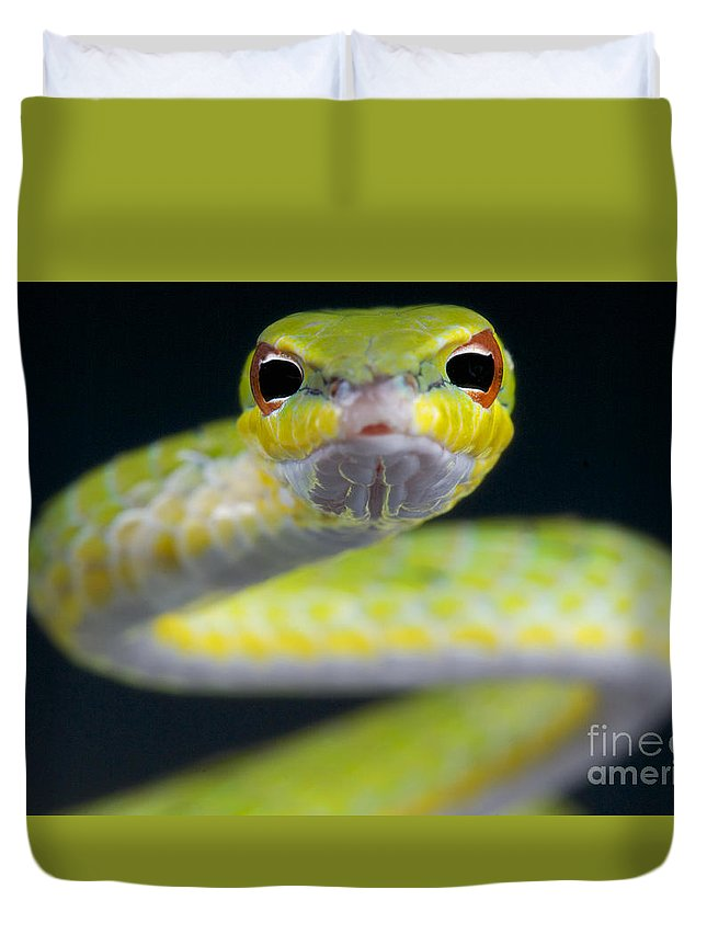 Malaysia Duvet Cover featuring the photograph Malayan Vine Snake by Reptiles4all