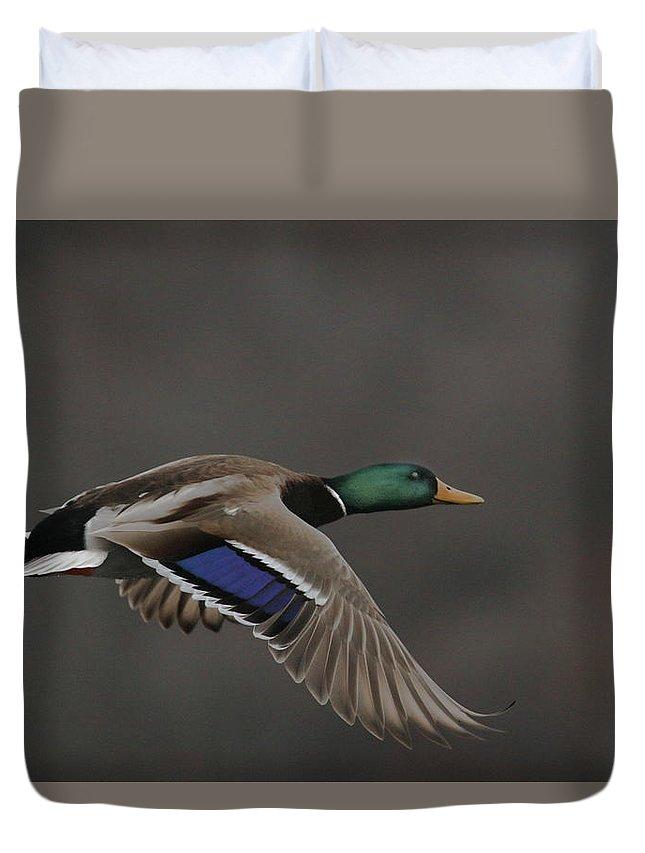 Mallard Duvet Cover featuring the photograph Mallard Duck in Flight Artsy2 by Nikki Vig