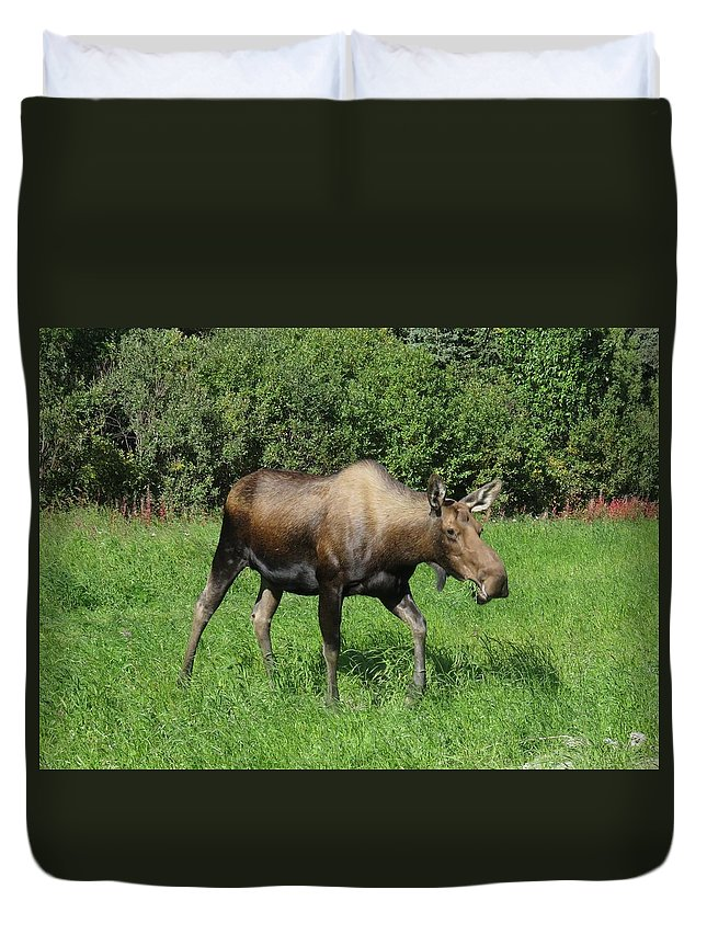 Moose Duvet Cover featuring the photograph Moose Cow Grazing by Lucinda VanVleck