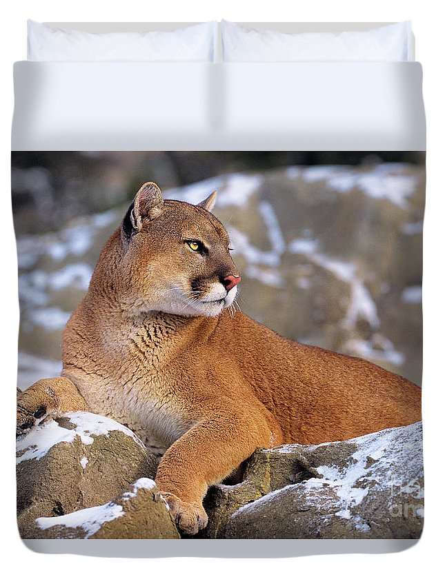 North America Duvet Cover featuring the photograph Mountain Lion On Snow-covered Rock Outcrop by Dave Welling