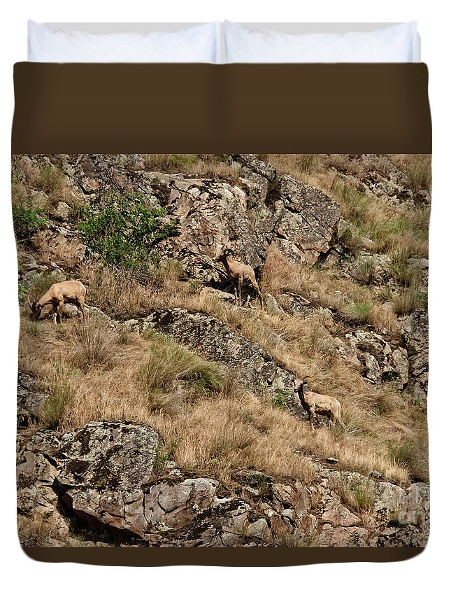 Sheep Duvet Cover featuring the photograph Mountain Sheep Hell Canyon by Robert Bales