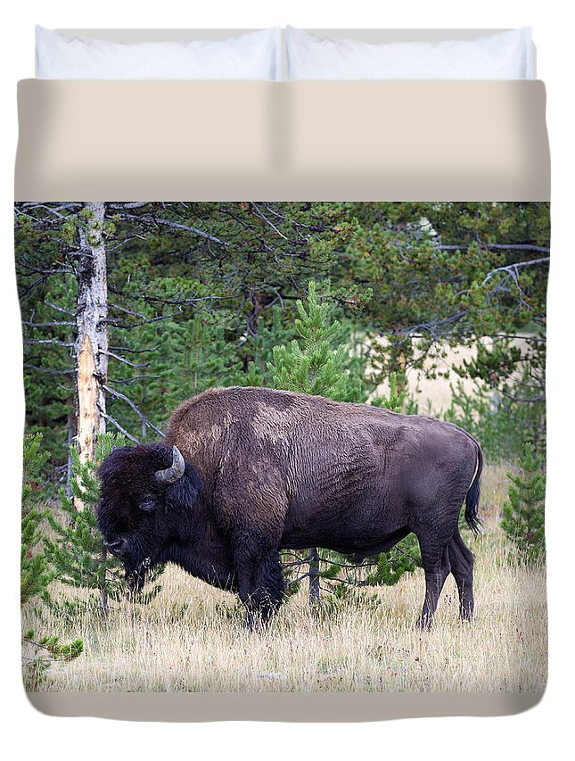Bison Duvet Cover featuring the photograph North American Buffalo Grazing Near Edge Of Woods During Late Su by Thomas Baker