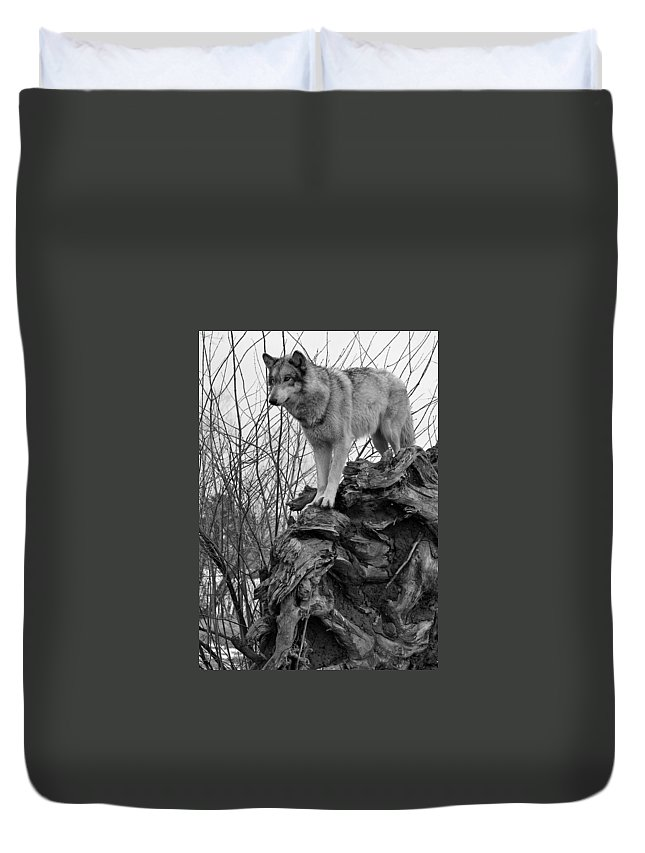 Black White Wolf Wolves Animal Wildlife Mammal Photography Photograph Canis Lupis Grey Timberwolf Duvet Cover featuring the photograph On Top by Shari Jardina