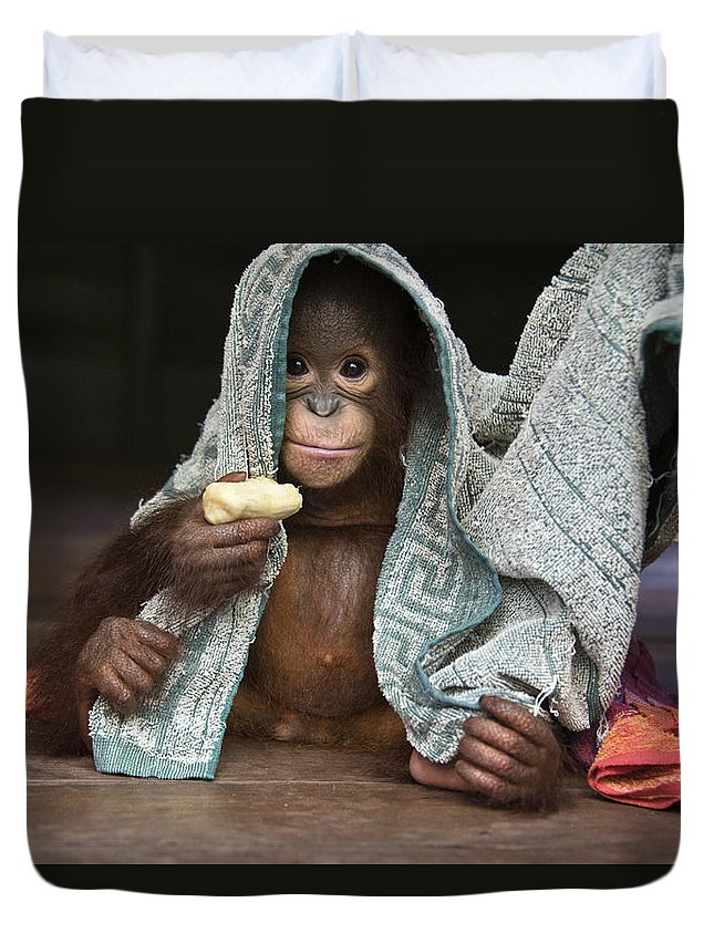 00486841 Duvet Cover featuring the photograph Orangutan 2yr Old Infant Holding Banana by Suzi Eszterhas