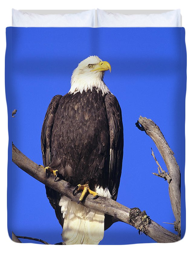 Alaska Duvet Cover featuring the photograph Perched Bald Eagle by John Hyde - Printscapes
