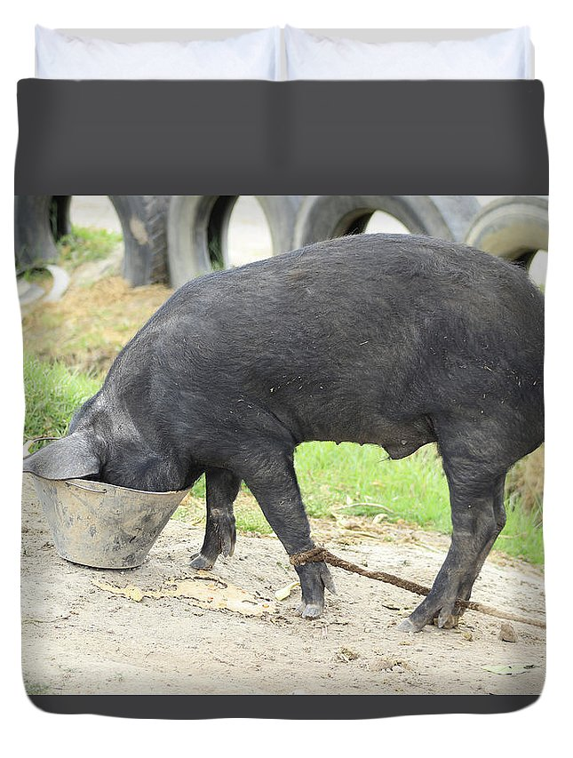 Pig Duvet Cover featuring the photograph Pig Eating From A Bucket by Robert Hamm