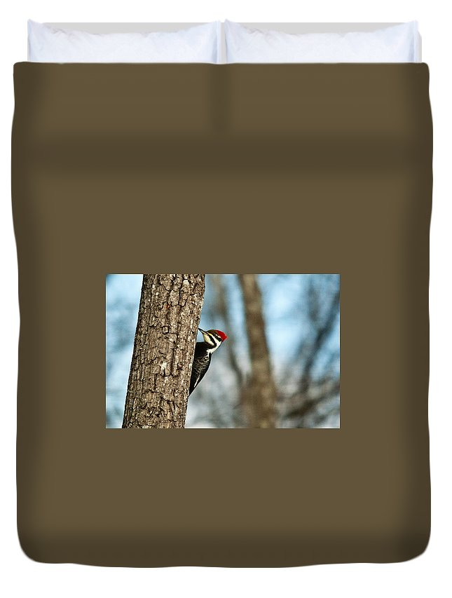 Cumberand Duvet Cover featuring the photograph Pileated Billed Woodpecker Pecking 1 by Douglas Barnett