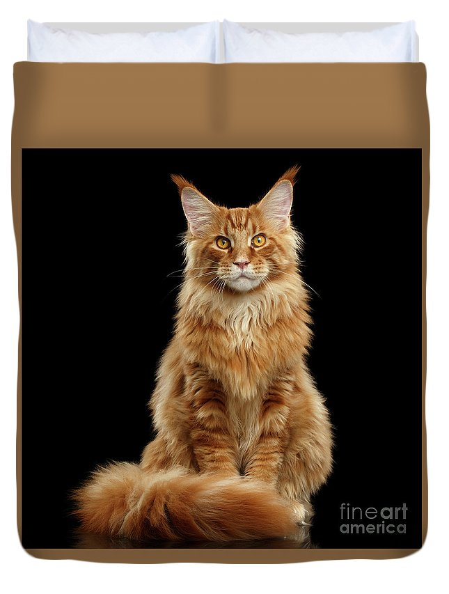 Angry Duvet Cover featuring the photograph Portrait Of Ginger Maine Coon Cat Isolated On Black Background by Sergey Taran