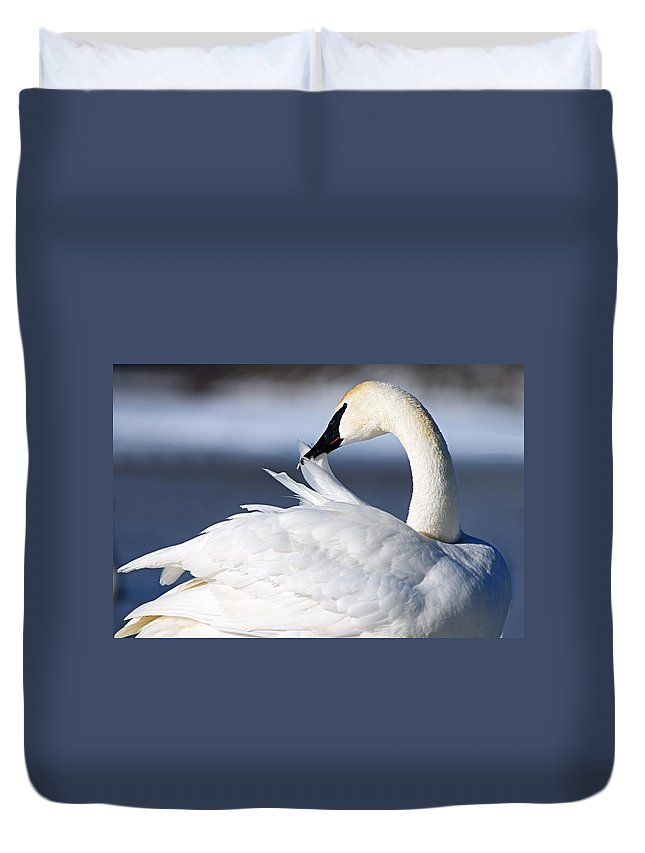 Trumpeter Swan Duvet Cover featuring the photograph Preening by Larry Ricker